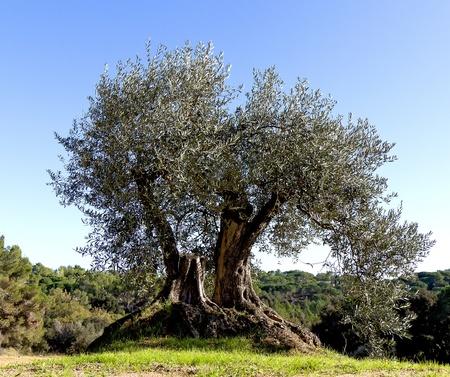 arboleda: Viejo �rbol de olivo con ra�ces