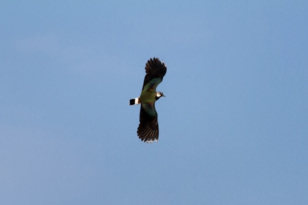 lapwing: Lapwing flying in the blue sky