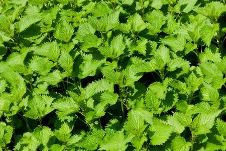 Green nettle field in spring Stock Photo - 12374090