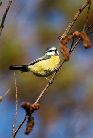 Great Tit resting on a tree branch photo