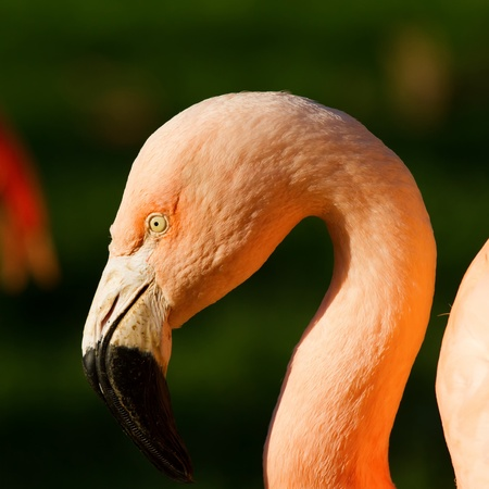 Pretty flamingo up close shot photo