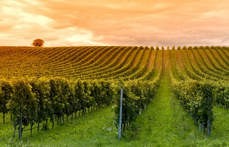 bodegas: Hermosas hileras de uvas antes de la cosecha