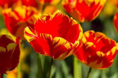 Beautiful spring multi-colored striped tulips Stock Photo - 13042273