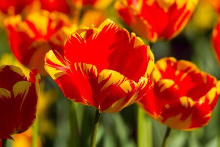 Beautiful spring multi-colored striped tulips Stock Photo - 13042273