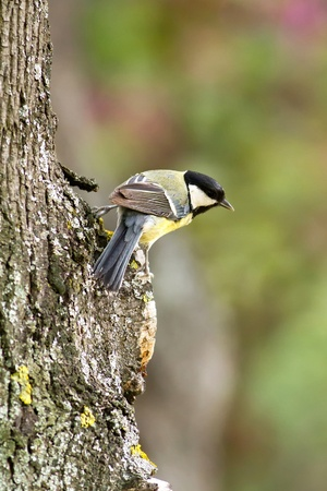 Great tit resting on a tree trunk photo