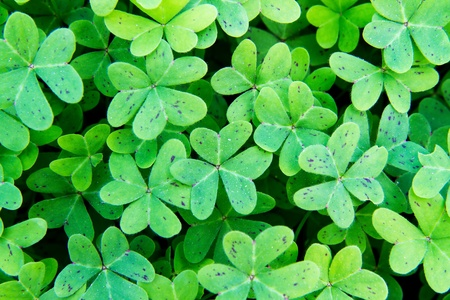 Close up of a nice, fresh clover field photo