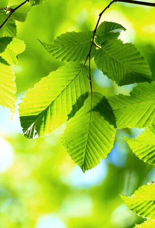 Beautiful, harmonious forest detail, with hornbeam leaves Stock Photo - 14118479