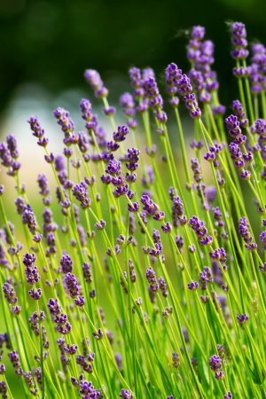 Closeup of lavender flowers photo