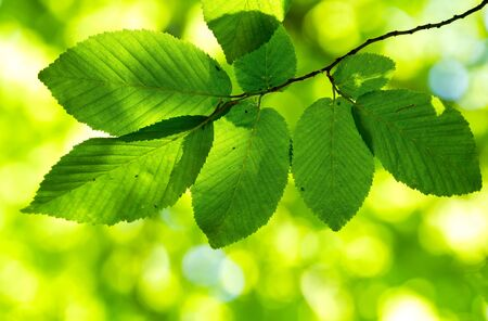 Beautiful, harmonious forest detail, with hornbeam leaves Stock Photo - 15141577