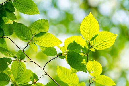 Beautiful, harmonious forest detail, with hornbeam leaves  Stock Photo - 15544317
