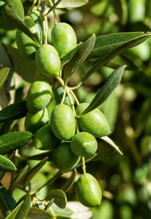 Beautiful olives fruit from Spain  Stock Photo