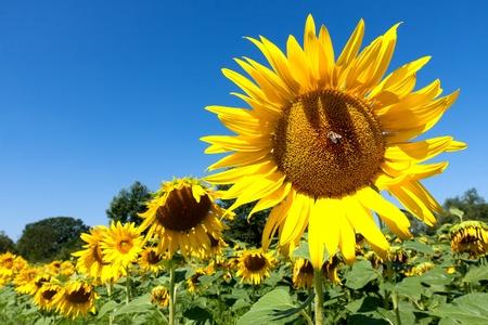 Beautiful yellow sunflower and blue sky Stock Photo - 15830071
