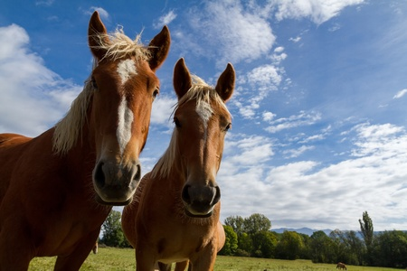 Curious horses in a meadow  photo