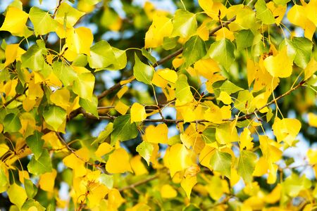 fullhd: Beautiful poplar leaves in springtime Stock Photo