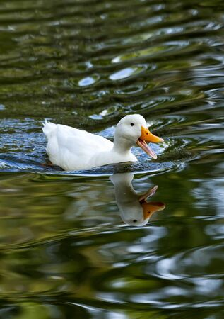 White duck reflected in the lake  photo