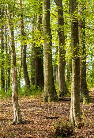 Green forest in spring with oak and hornbeam trees  photo