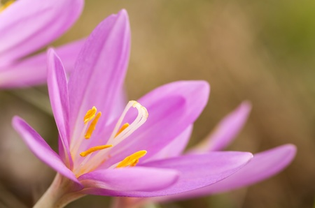 colchicum autumnale: Nice flower in the autumn time (Colchicum autumnale)  Stock Photo