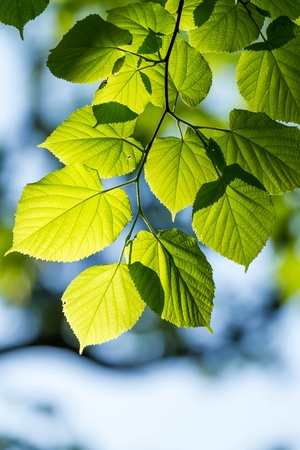 Beautiful, harmonious forest detail, with linden leaves Stock Photo - 18390984