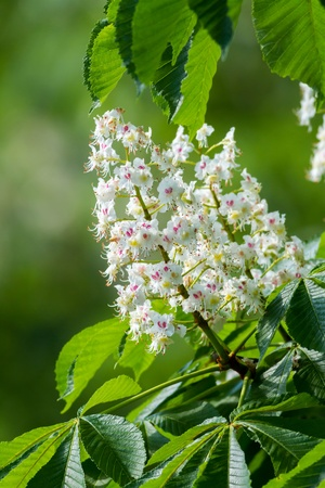 Beautiful white horse chestnut flowers Stock Photo - 18448714