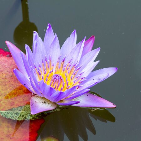 Pink Water Lily in the lake photo