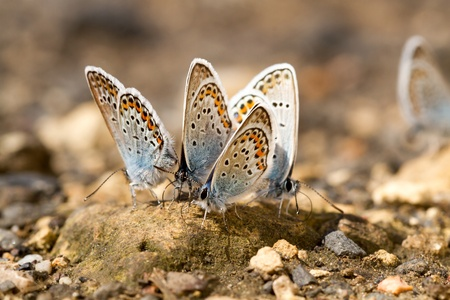 Many butterflies resting together  photo