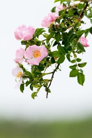 Beautiful blooming wild rose bush Stock Photo
