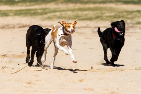 Dogs playing in the sand photo