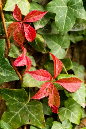 English Ivy on the wand and red leaves