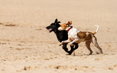 dogs playing: Dogs playing in the sand  Stock Photo