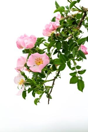 briar bush: Beautiful blooming wild rose bush  Stock Photo
