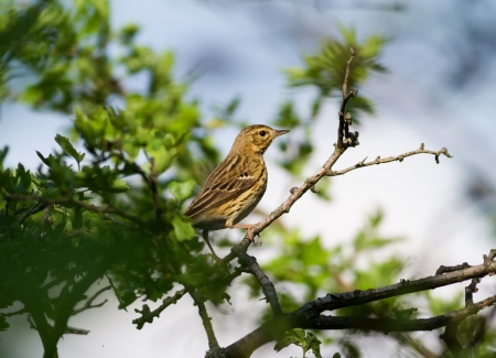 wildllife:  Song Thrush (Turdus philomelos) on the bush