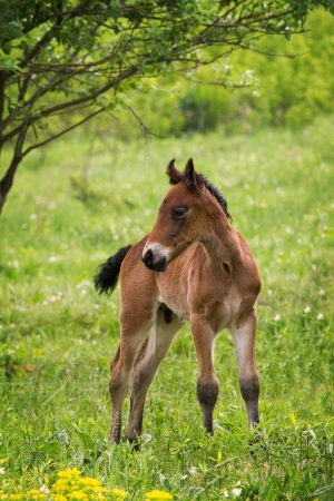 Young foal in the green field