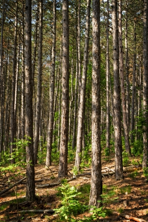 firry: Young pine forest in spring Stock Photo