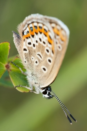 Close up of a beautiful butterfly(Common Blue,Polyommatus icarus) photo