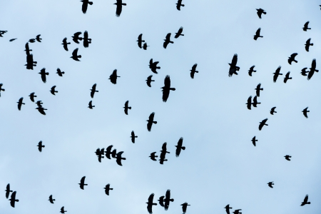 Crows flying in the sky photo