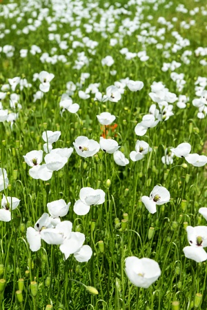White poppy flowers in the field Stock Photo - 20417676