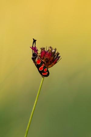 zygaena: Zygaena insect on the flower  Dianthus carthusianorum  Carthusian Pink