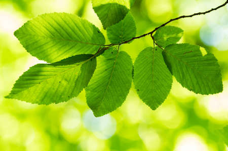 Beautiful, harmonious forest detail, with hornbeam leaves Stock Photo - 21531204