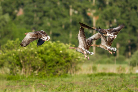 greylag: Greylag Gooses flying over the meadown