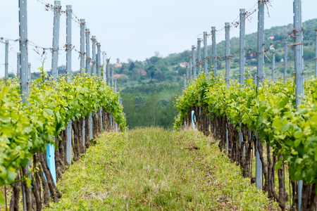 Beautiful rows of grapes at spring photo
