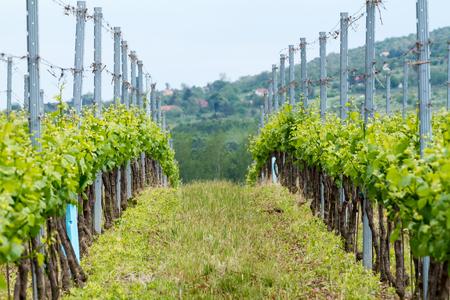 Beautiful rows of grapes at spring photo