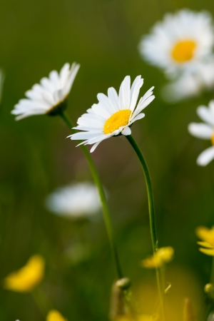 vulgare: Beautiful white daisy growing in a summer garden  Leucanthemum vulgare