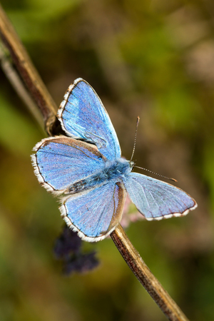 Closeup butterfly of common blue photo