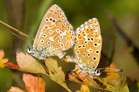 Love from butterflies  common blue  Stock Photo - 24230007
