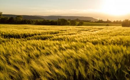 日当たりの良い、風の強い日で穀物のフィールド