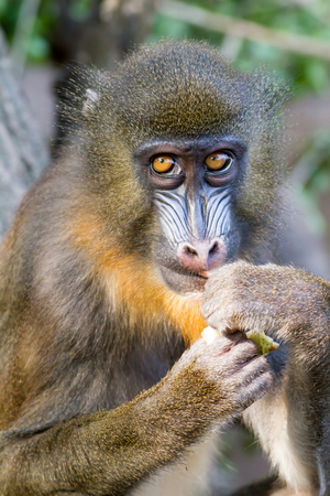 mandrill: Portrait of a young Mandrill