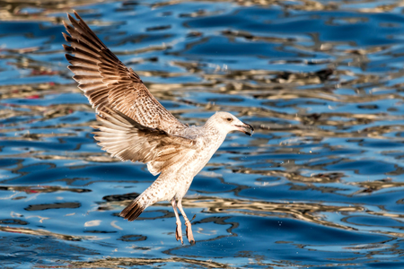 Young seagull flying over the lake photo