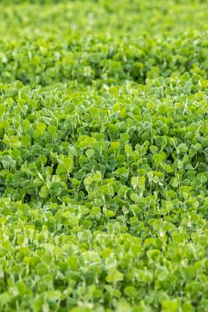 trifolium: Fresh Crimson clover  Trifolium incarnatum  field