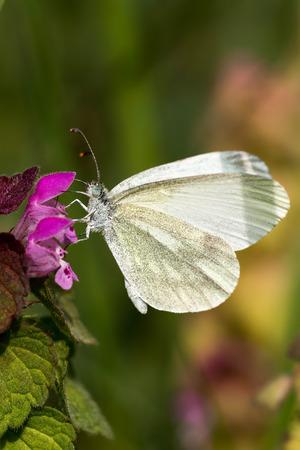 White Butterfly   Pieris brassicae  on the flower photo