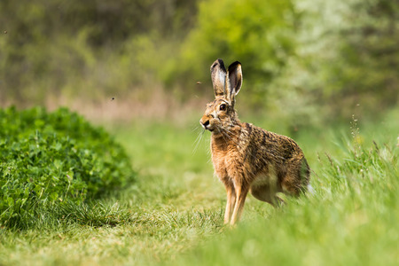 European hare  Lepus europaeus  on the field